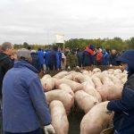 Министра подозревают в мошенничестве, свинокомплекс, пикет